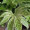 Blad-leaf Fatsia japonica Spiders Web - Japanse vingerplant