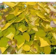 Blad-leaf Catalpa bignonioides Aurea