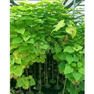 Blad Catalpa bignonioides - Groene trompetboom