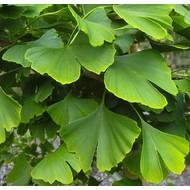 Blad / leaf Ginkgo biloba - Japanse notenboom