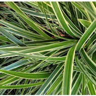 Siergrassen Carex morrowii Goldband