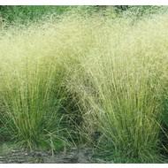 Siergrassen-ornamental grasses Deschampsia cespitosa Tauträger
