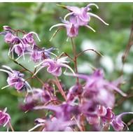 Bloemen-flowers Epimedium grandiflorum Lilafee
