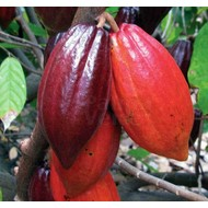 Eetbare Tuin Theobroma cacao - Cacaoplant