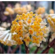 Bloemen Edgeworthia chrysantha Grandiflora - Papierstruik