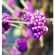 Bloemen Callicarpa bodinieri Profusion - Schoonvrucht