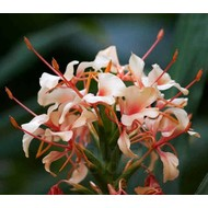 Bloemen Hedychium Pink V - Gember