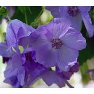 Bloemen Abutilon suntense