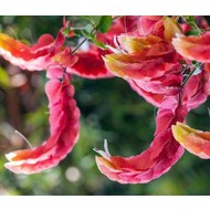 Bloemen Beloperone guttata - Garnalenplant