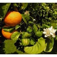 Eetbare Tuin Citrus aurantium