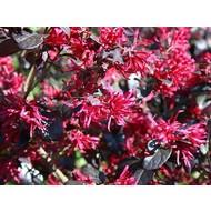 Bloemen Loropetalum chinense Black Pearl - Chinese franjeboom