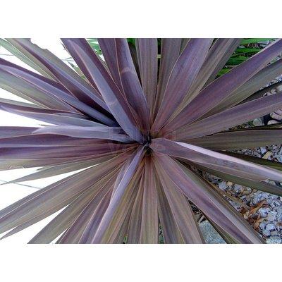 Blad / leaf Cordyline australis Red Star