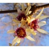 Bloemen Chimonanthus praecox - Winterzoet
