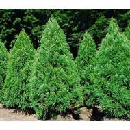 Bomen Cryptomeria japonica - Japanse sikkelden
