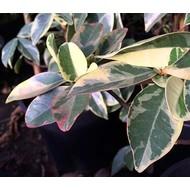 Bloemen Trachelospermum jasminoides Variegata - Sterjasmijn