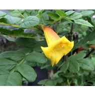 Bloemen Tecomaria Tropical Twist