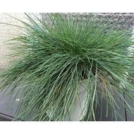 Siergrassen-ornamental grasses Festuca glauca Intense Blue