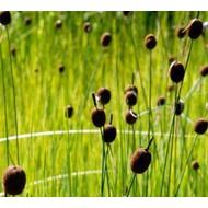 Siergrassen Typha minima - Dwerg lisdodde