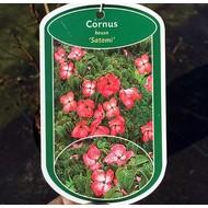 Bloemen Cornus kousa Satomi - Kornoelje