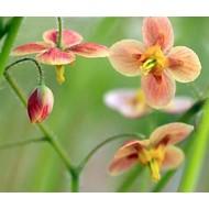 Bloemen Epimedium pubigerum Orangekonigin - Elfenbloem