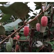 Bloemen Elaeagnus ebbingei - Olijfwilg - Zilverbes