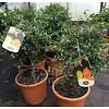 Eetbare Tuin Citrus australasica - Vingerlimoen - Limoenkaviaar