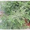 Eetbare tuin-edible garden Glycyrrhiza glabra - Zoethout