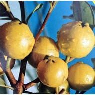 Eetbare Tuin Psidium littorale Golden - Gele guave