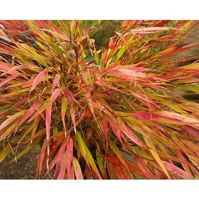 Siergrassen / ornamental grasses Hakonechloa macra Nicolas