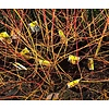 Bloemen-flowers Cornus sanguinea Midwinter Fire