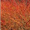 Bloemen Cornus sanguinea Midwinter Fire