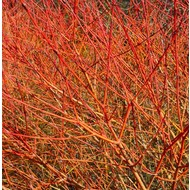 Bloemen Cornus sanguinea Midwinter Fire