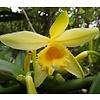 Eetbare tuin-edible garden Vanilla planifolia - Vanilleplant