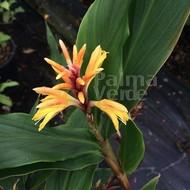 Bloemen-flowers Cautleya spicata Robusta