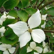Bloemen Cornus kousa Chinensis - Kornoelje