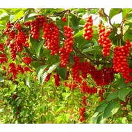 Eetbare tuin-edible garden Schisandra chinensis - Pepperberry