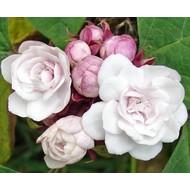 Bloemen Clerodendrum philippinum - Pindakaasplant