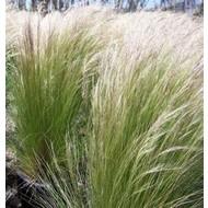 Siergrassen-ornamental grasses Stipa tenuissima - Vedergras