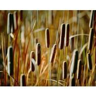 Siergrassen-ornamental grasses Typha angustifolia - Kleine lisdodde