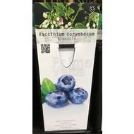 Eetbare tuin-edible garden Vaccinium corymbosum Bluegold - Blue berry