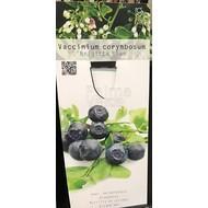 Eetbare tuin-edible garden Vaccinium corymbosum Brigitta Blue - Blue berry