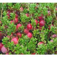 Eetbare Tuin Vaccinium macrocarpon Pilgrim - Veenbes