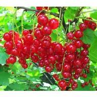 Eetbare Tuin Ribes rubrum Jonkheer van Tets - Aalbes