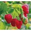 Eetbare Tuin Rubus idaeus Heritage - Framboos