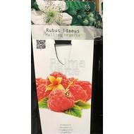 Eetbare tuin-edible garden Rubus idaeus Malling Promise - Raspberry