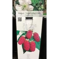 Eetbare tuin-edible garden Rubus loganobaccus Tayberry - Taybes