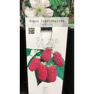 Eetbare Tuin Rubus loganobaccus Tayberry - Taybes