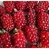 Eetbare tuin / edible garden Rubus loganobaccus Tayberry - Taybes