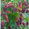 Eetbare Tuin Rubus loganobaccus Tayberry - Taybes