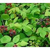 Eetbare Tuin Rubus occidentalis Black Jewel - Zwarte framboos